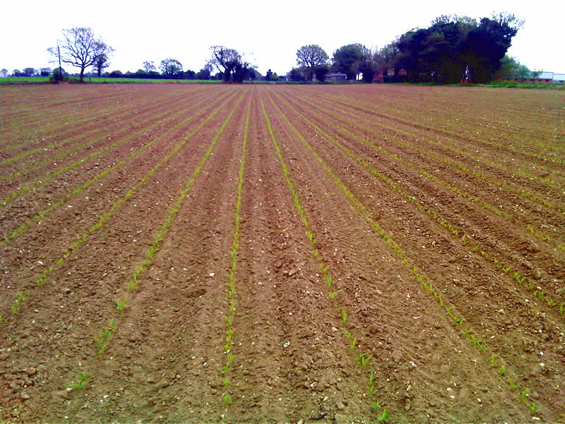 Maize growth on 8th May 2013